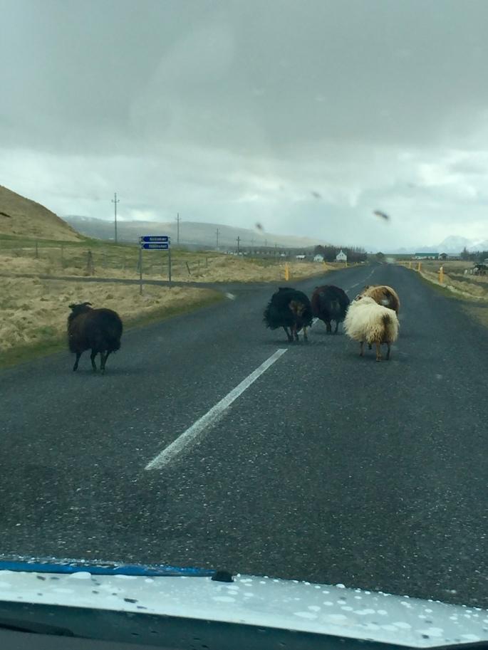 Running Icelandic Goats